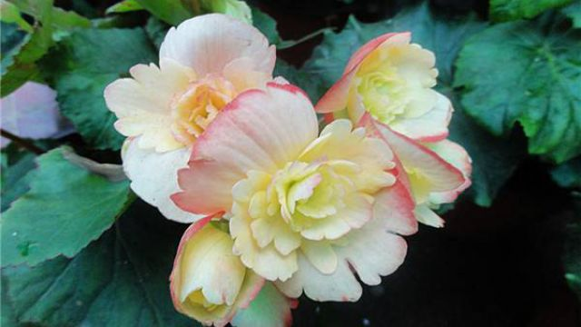 海棠花盆景的养殖方法