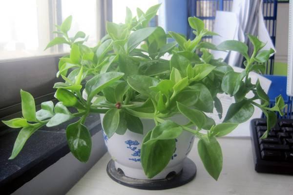 室内这8种吊篮植物一长一大丛