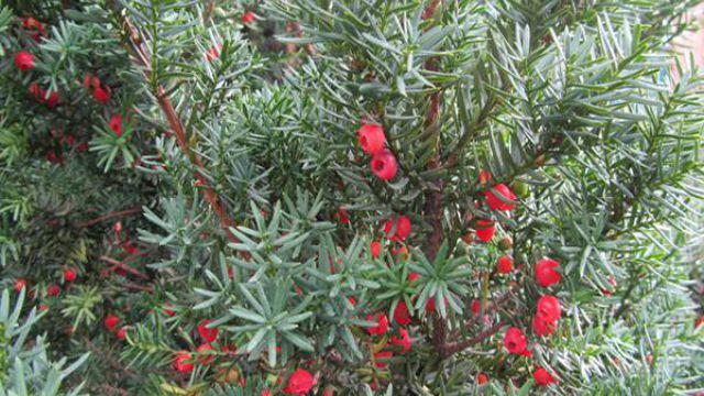 红豆杉种子怎么种