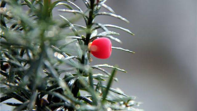 红豆杉怎么施肥