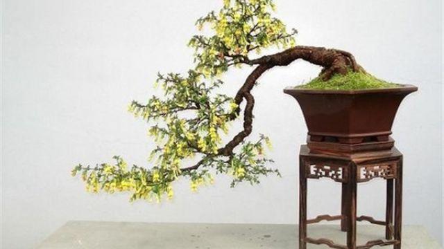金雀花盆景的制作方法