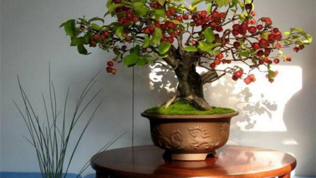 南天竹盆景的修剪方法