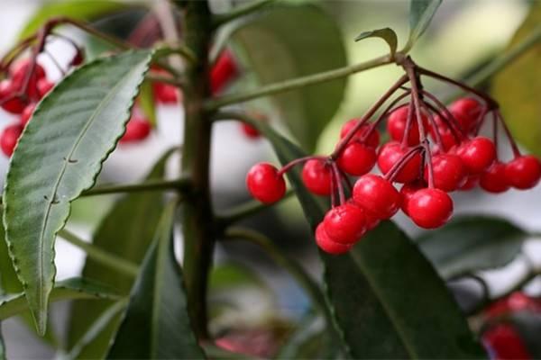 朱砂根欧亿代理(富贵籽)的病虫害及其防治