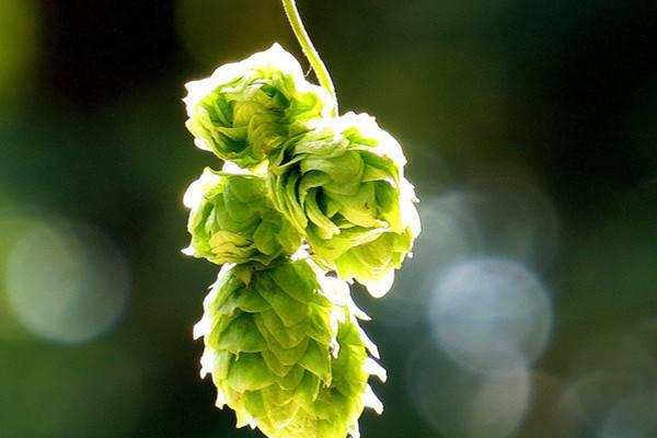 啤酒花的养殖方法