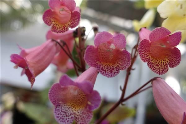 垂筒苣苔的养殖方法