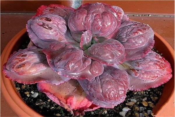 多肉植物乙女梦的养殖方法