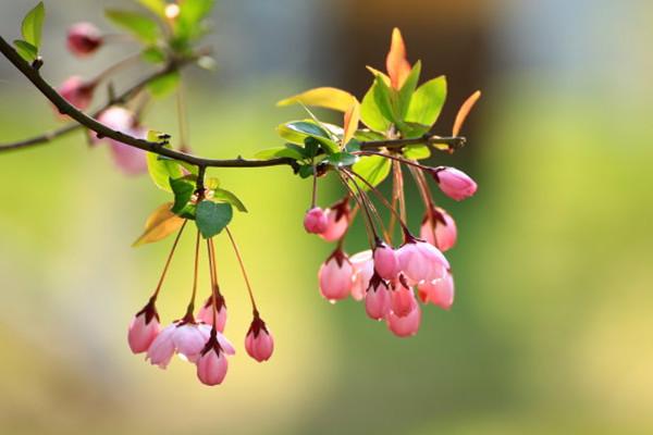 垂枝海棠的病虫害及防治