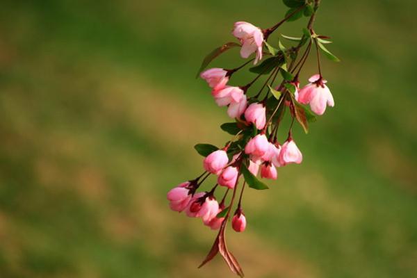 垂枝海棠的花语和文化背景