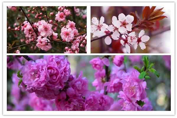 美人梅和紫叶李、榆叶梅的区别