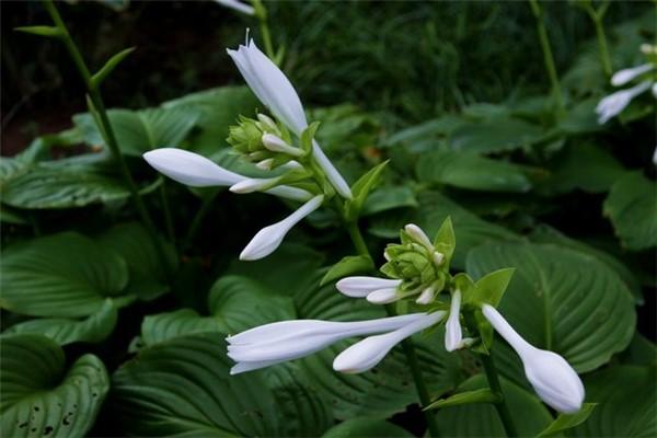 玉簪花的病虫害及其防治