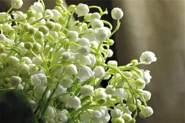 铃兰冬季开花的养护方法