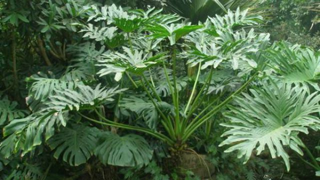 可以吸收甲醛的植物_龟背竹的功效和作用 - 花百科