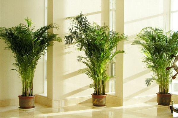 散尾葵的风水作用