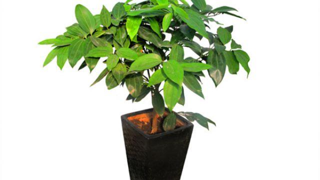 平安树怎么施肥