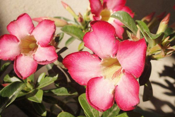 沙漠玫瑰扦插和嫁接