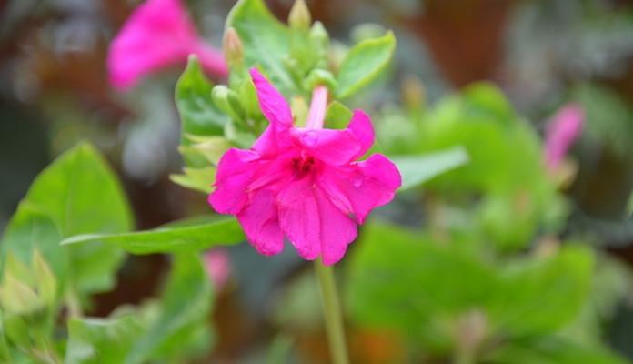 紫茉莉有毒吗