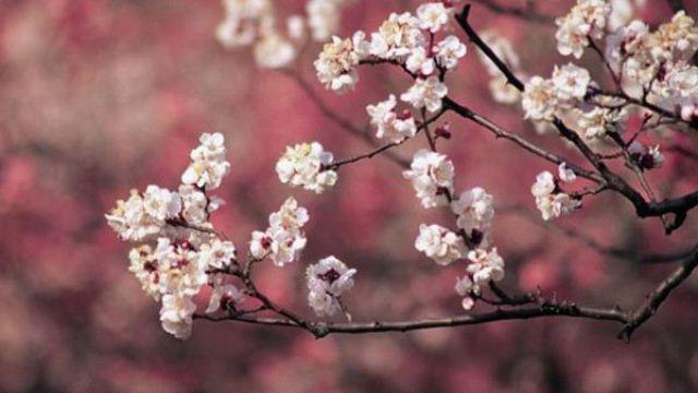 樱花的功效和作用
