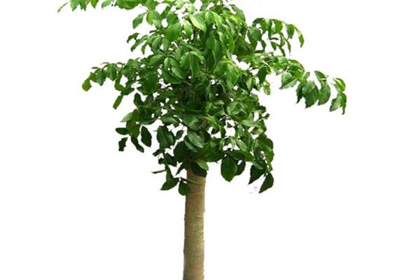 平安树怎么换盆 - 花百科