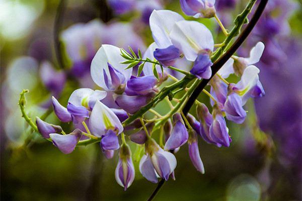 紫藤的常见欧亿注册平台病害及其防治