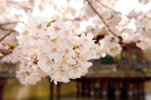 樱花怎么制作盆景