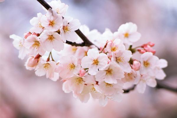 樱花整形与修剪