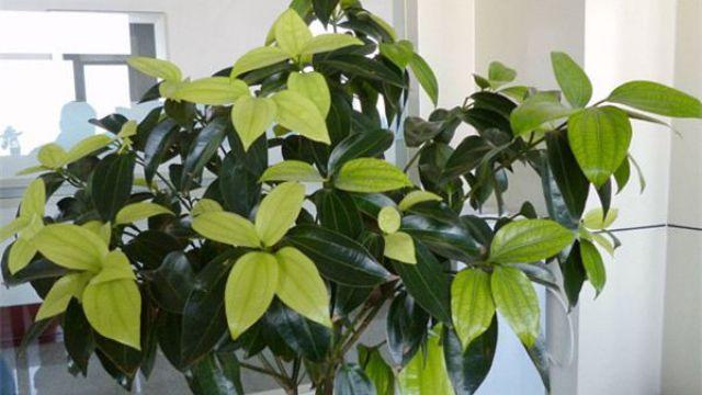 平安树怎么繁殖