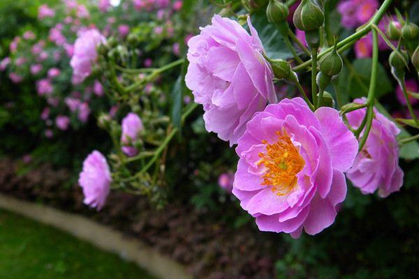蔷薇花的功效和作用