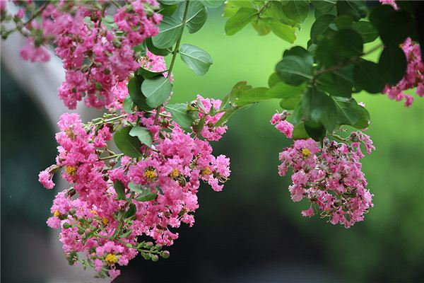 紫薇花的常见虫灾及防治办法