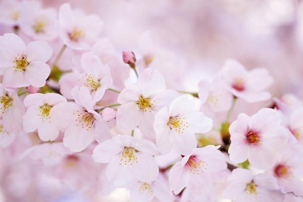 樱花的虫灾及其防治