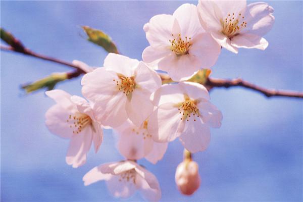 樱花的欧亿登录病害及其防治