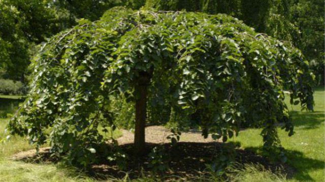 榆树的主要虫害及其防治