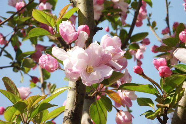 如何使西府海棠花多色艳
