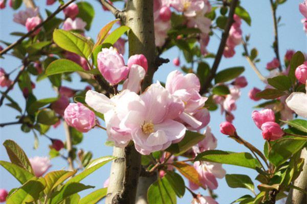 西府海棠的花期
