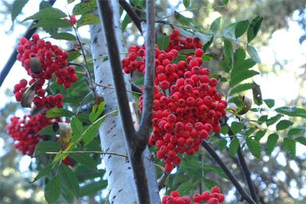 红豆杉的病欧亿注册平台虫害及其防治