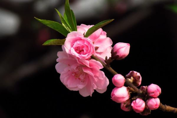 碧桃的花语和传说