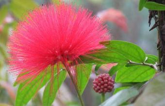 朱缨花和合欢花的区别