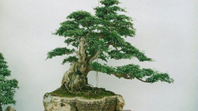 榕树盆景的养护管理