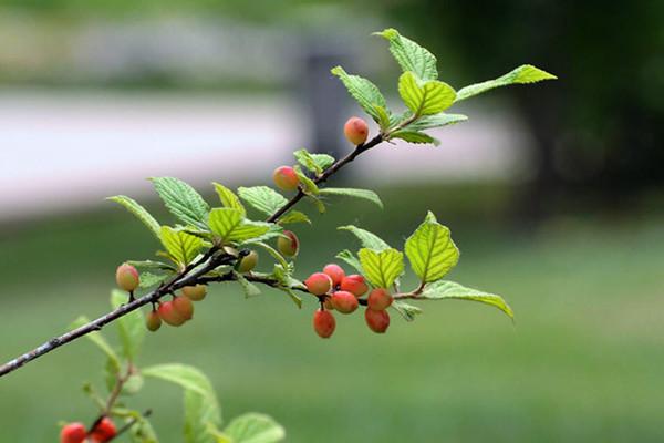 榆叶梅的果实可以吃吗