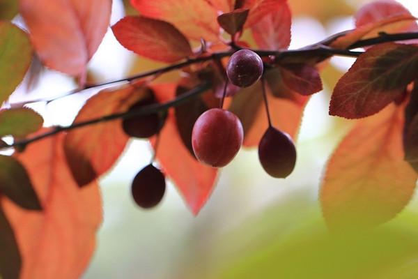 紫叶李常见的虫灾及其防治