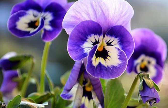 蝴蝶花的花語和傳說- 花百科