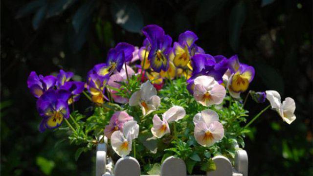 蝴蝶花和角堇的区别