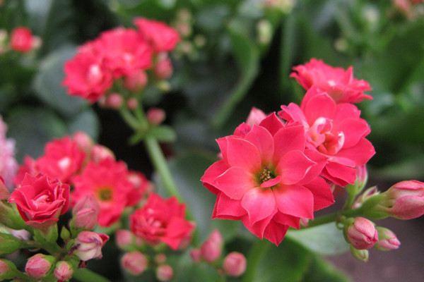 长寿花掉叶不开花,教你这样养,再也不生病