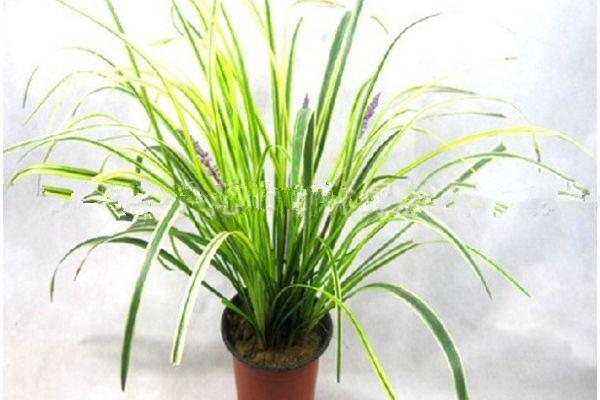 麦冬草的病害及其防治