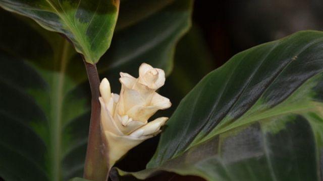 天鹅绒竹芋焦边卷叶怎么回事