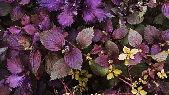彩叶草和紫苏的区别