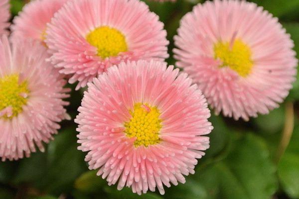 翠菊怎么来布置成美景