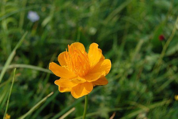 金莲花的繁殖方法