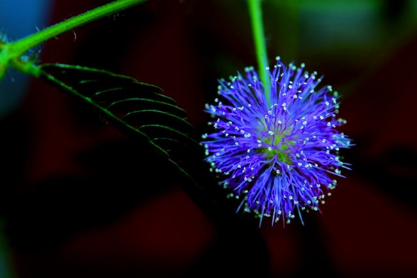 含羞草的花语及传说