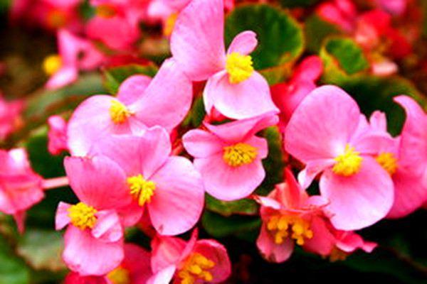 四季海棠的病虫害及其防治