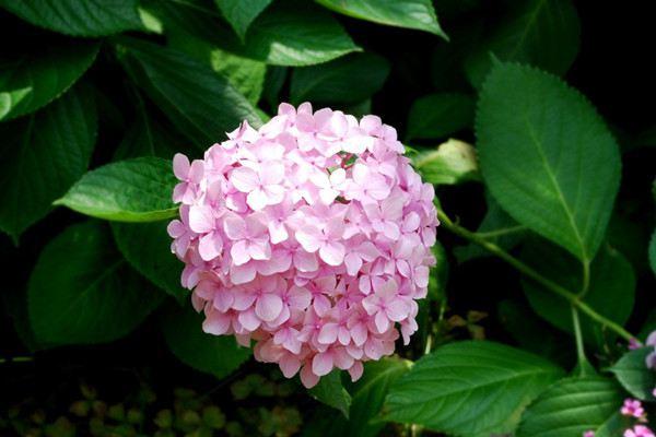 八仙花的施肥技巧